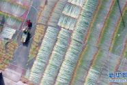 广西柳州:蔺草丰收 助农增收