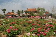 天下国色唯牡丹 最美中国看菏泽曹州牡丹园