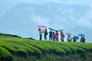 雨中漫步春茶园