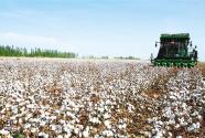 新疆库车县二八台镇阔什阿瓦提村棉田使用大型采棉机采摘棉花