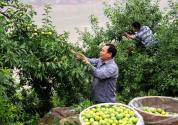"""重庆巫山: 念好""""山字经""""小水果做出致富大文章"""