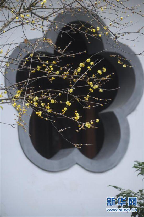 (美丽中国)(2)江南赏梅胜地开启迎春赏梅季