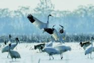 鄱陽湖畔護鳥人,打斷肋骨也不悔