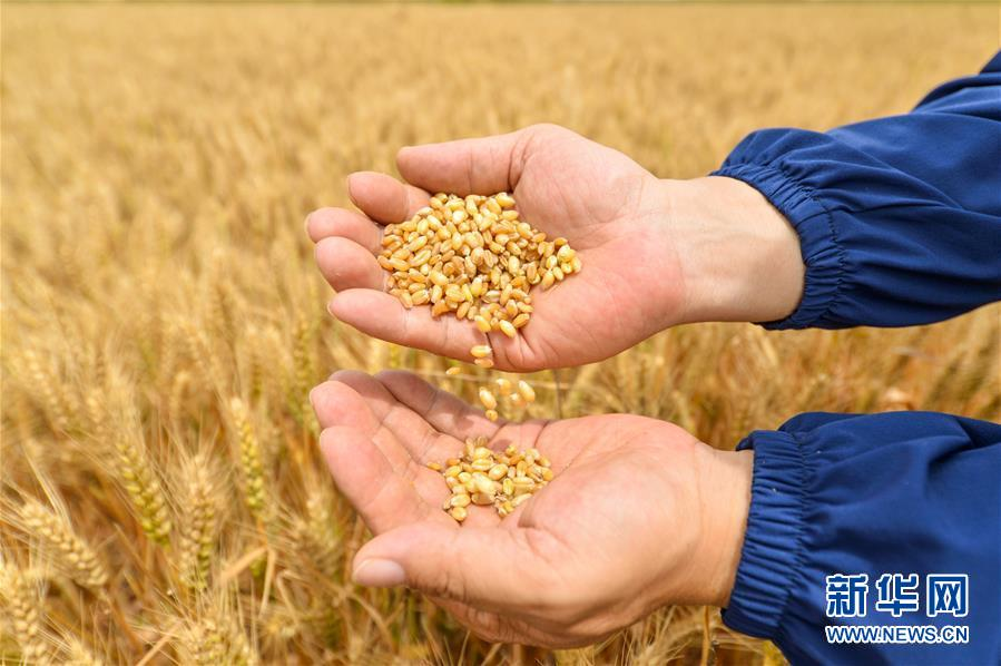(经济)(4)河北临漳:小麦测产迎丰收